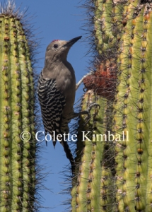 Gila-Woodpecker-CKimball-watermark